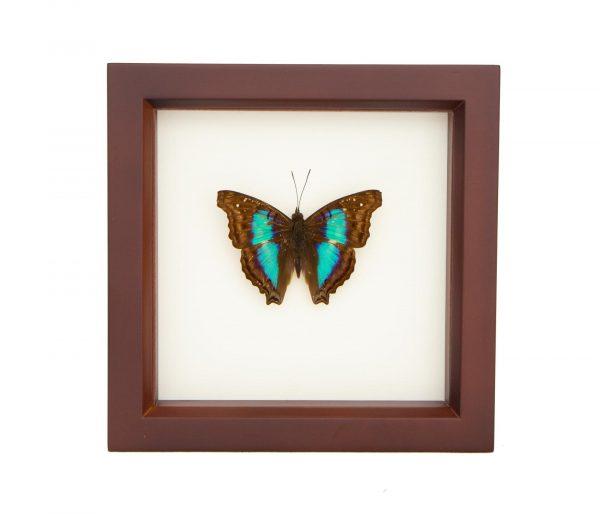 framed turquoise emperor