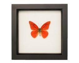 Framed Orange Albatross Butterfly