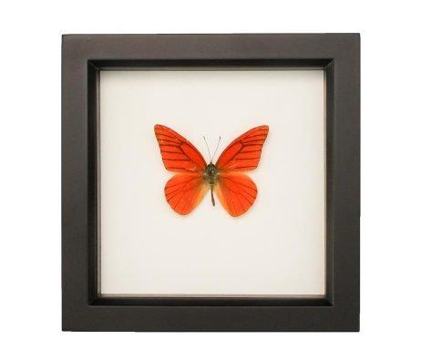 Framed Orange Albatross Butterfly