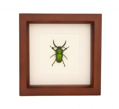 Framed Sawtooth Stag Beetle (Lamprina adolphinae)