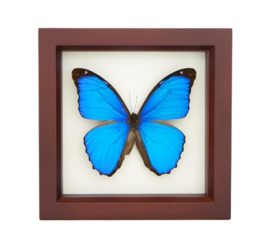 Framed Blue Morpho Butterfly (Morpho menelaus)