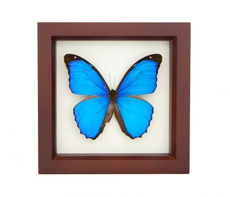 Blue Morpho Walnut Frame