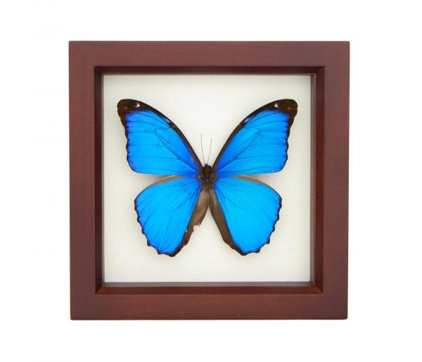 Blue Morpho Walnut Frame