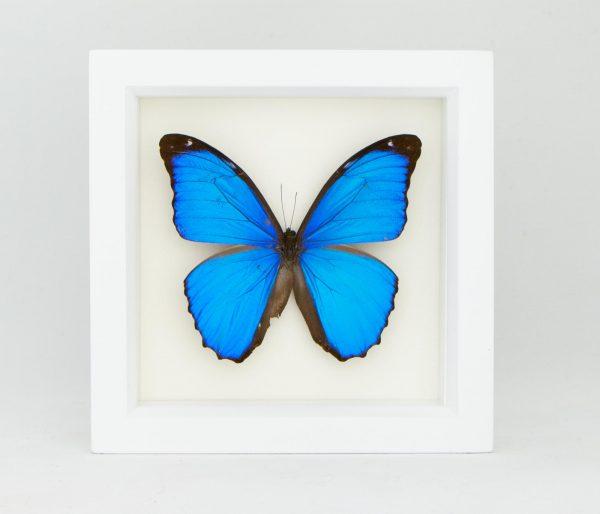 Framed Blue Morpho White Frame