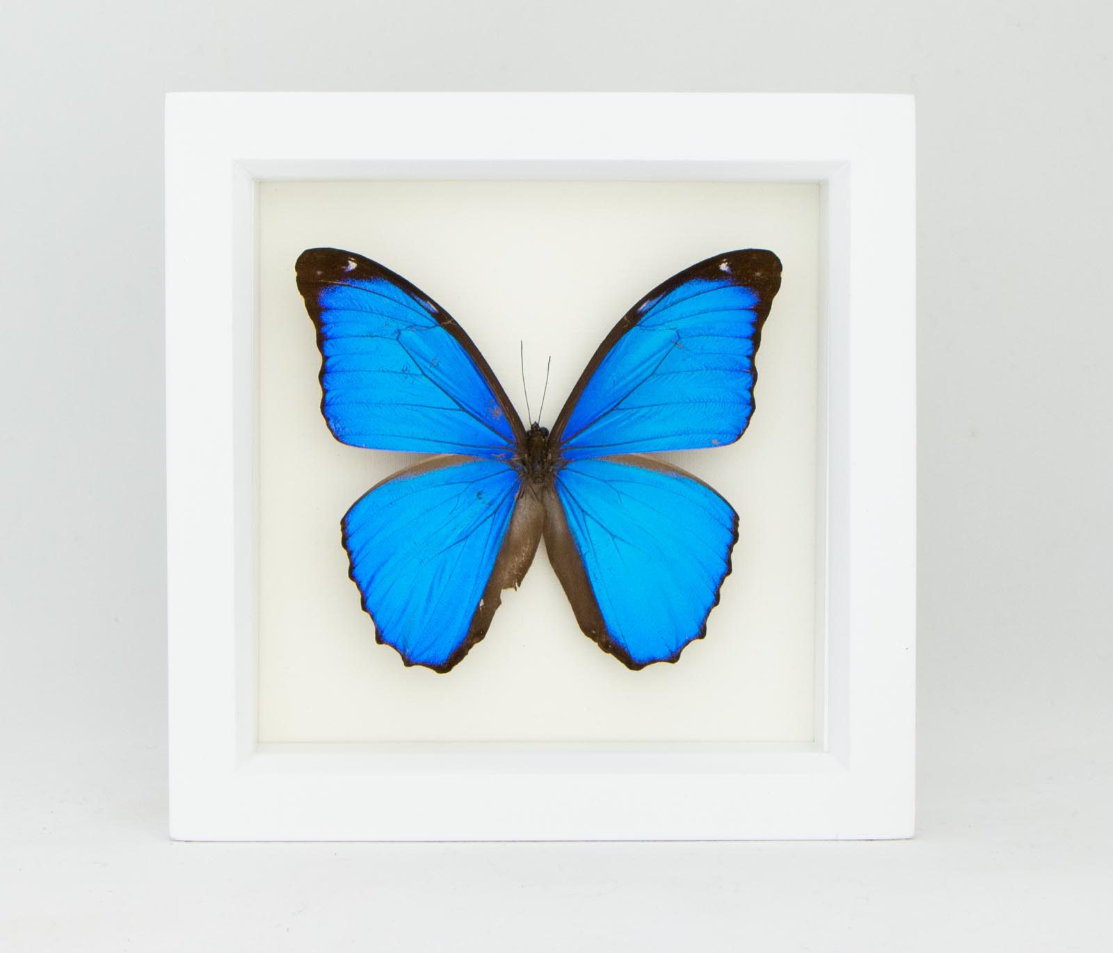 Butterfly Taxidermy Framed Butterfly Insect Taxidermy 2 Real Framed Butterfly Shadow Box- Blue Butterfly Morpho Menelaus Blue Morpho