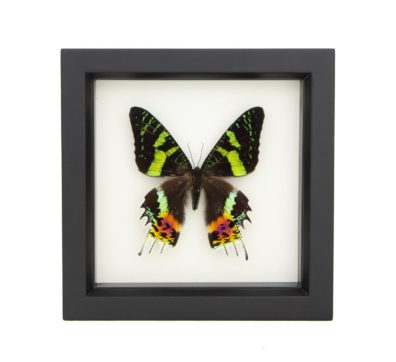 Framed Madagascan Sunset Moth (Chrysiridia rhipheus)