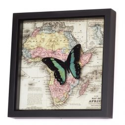 africa map real butterfly