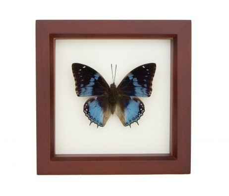 blue African butterfly for sale