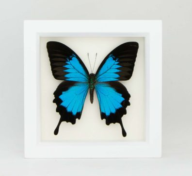 Framed Blue Mountain Swallowtail (Papilio ulysses)