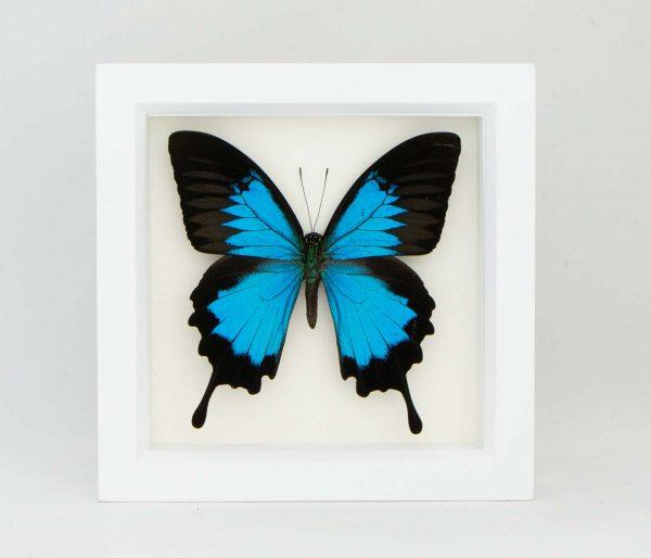 blue mountain swallowtail for sale