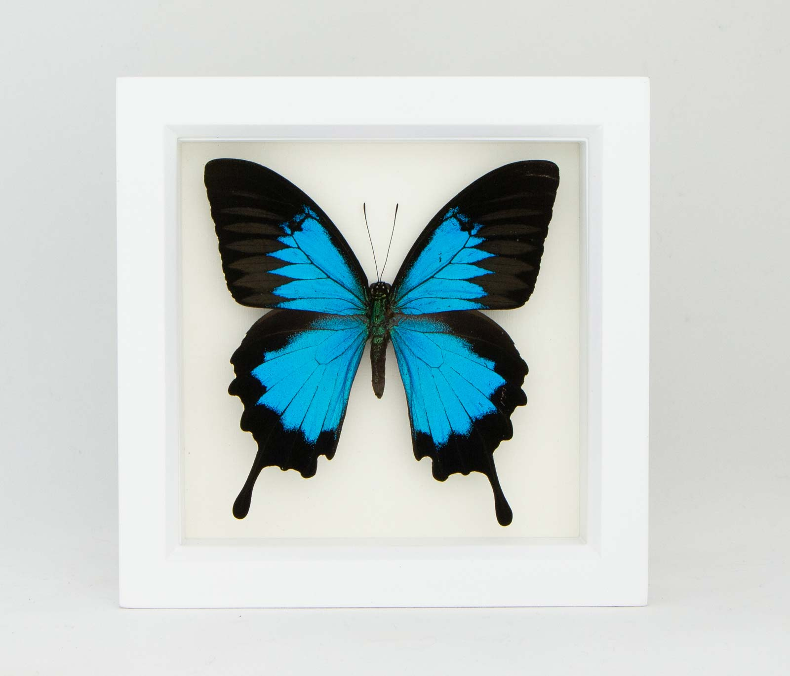 real Papilio ulysses in frame taxidermy Blue Mountain Butterfly