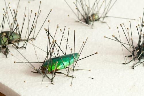pinned beetles