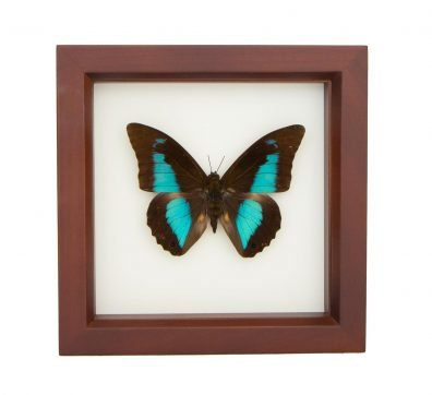 Framed Blue Shoemaker Butterfly (Prepona demophon)