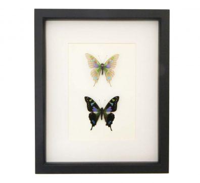 Graphium weiskei Descaled Butterfly Skeleton Pair