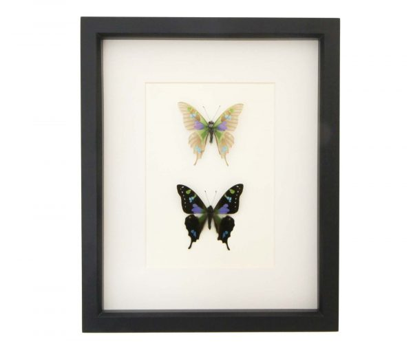 butterfly skeleton pair