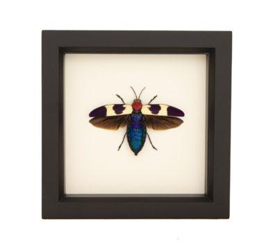 chrysochroa-buqueti-rugicollis-framed-beetle-1-Edit
