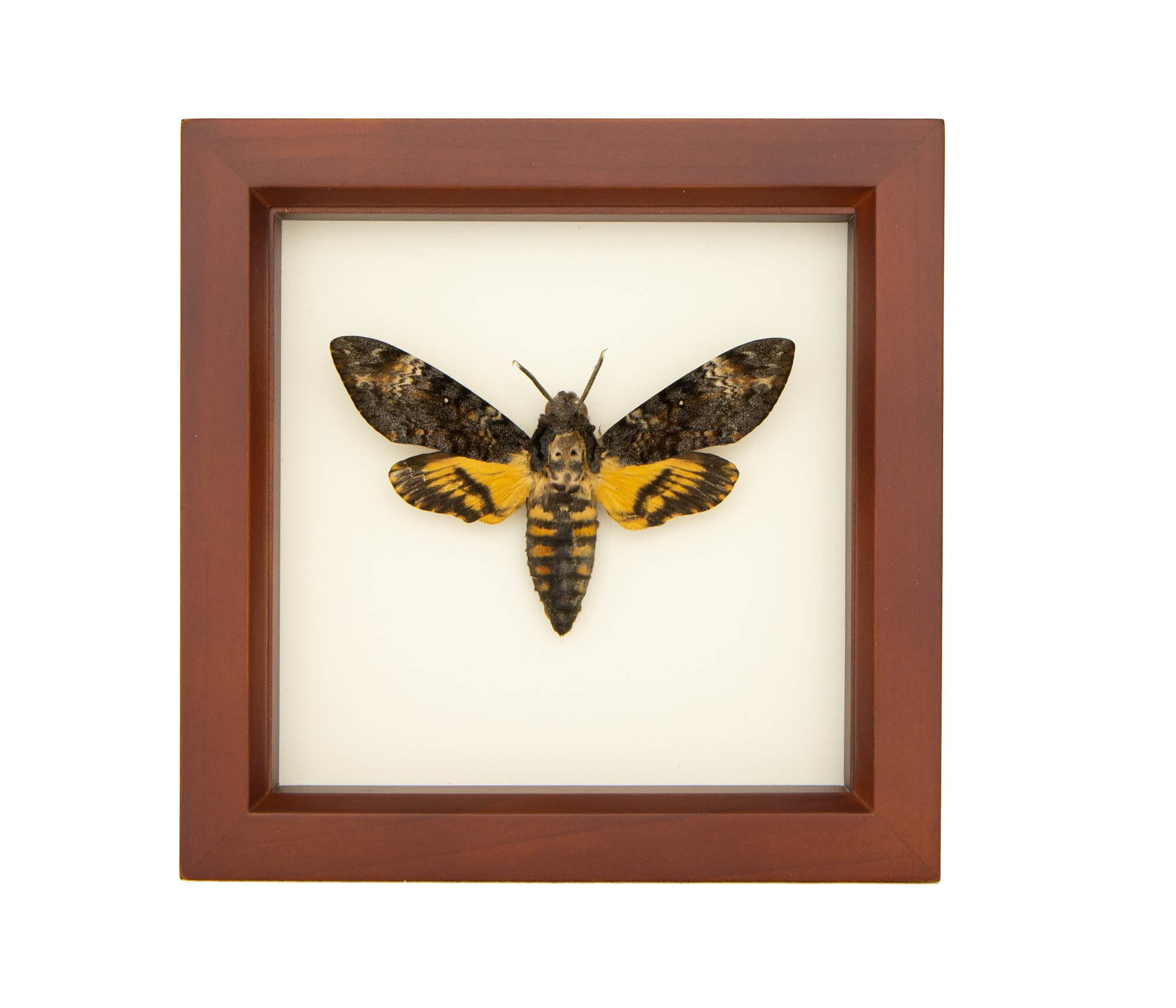 Insect PREORDER!! Curiosity Silence of the Lambs Bug Glass Riker box display case Oddity Death Head Moth