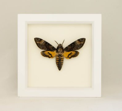 Framed Death Head Moth