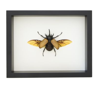eupatorus gracilicornis for sale