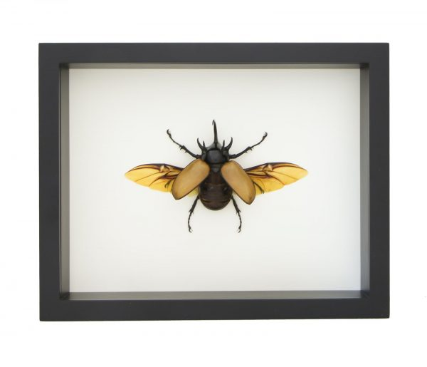 eupatorus gracilicornis for sale