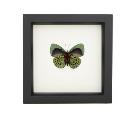 framed Callithea philotima
