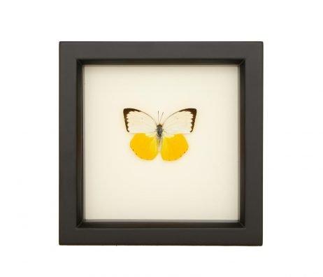 framed Catopsilia scylla