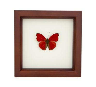 Framed Sangria Butterfly (Cymothoe sangaris)