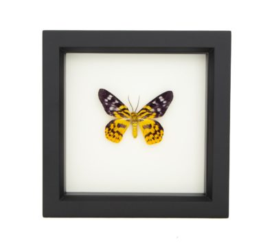 Framed False Tiger Inchworm Moth (Dysphania militaris)
