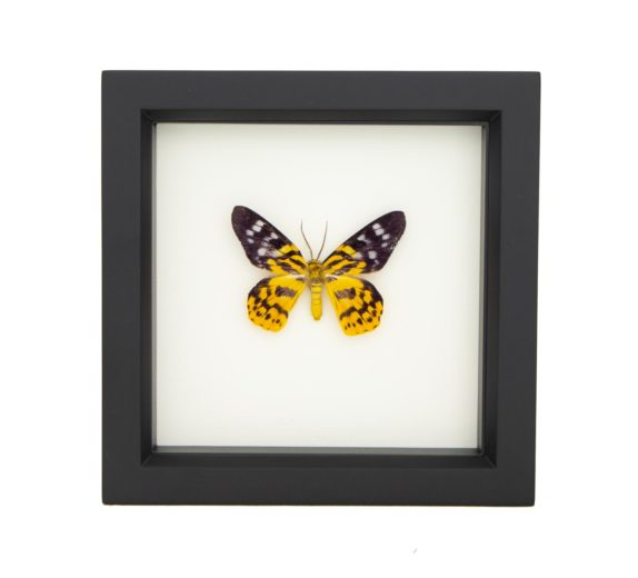 framed Dysphania militaris