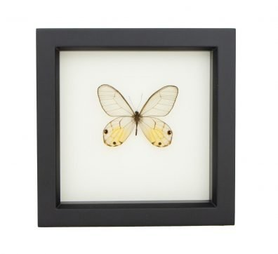 Framed Amber Glasswing Butterfly