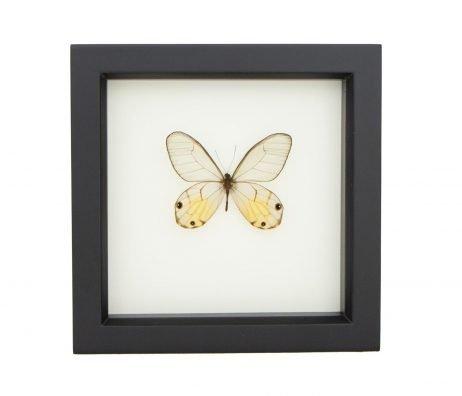 framed Haetera piera