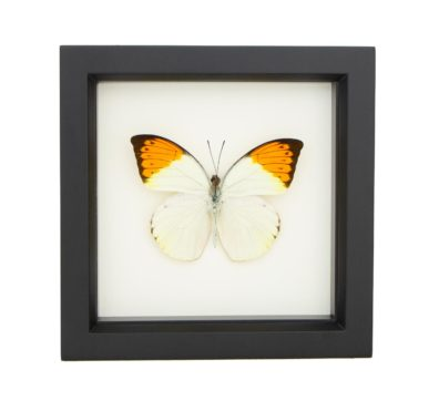 Framed Great Orange Tip Butterfly (Hebomoia glaucippe)