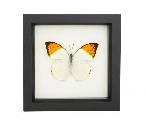 framed Hebomoia glaucippe specimen