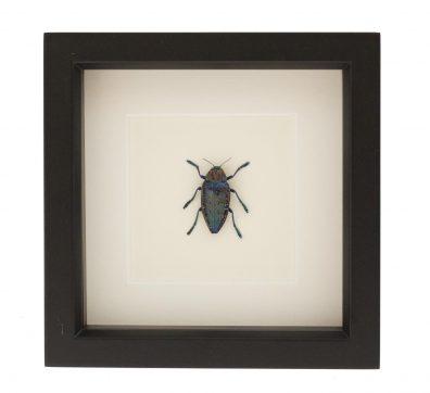 Framed Speckled Jewel Beetle