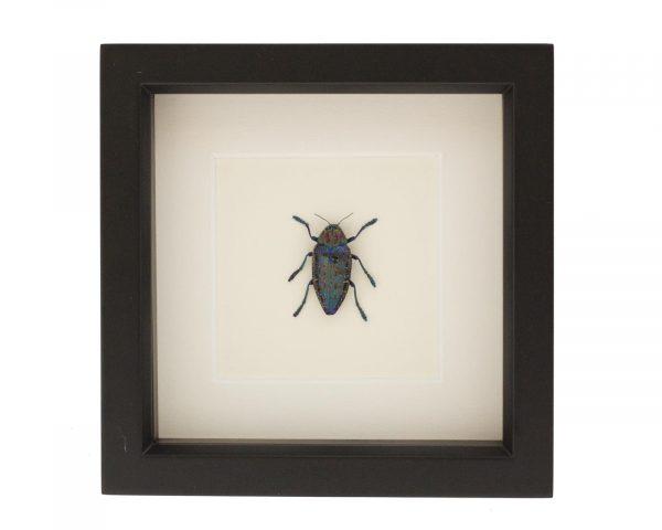 framed Polybothris species