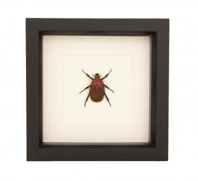 Framed Fruit Chafer Beetle (Torynorrhina flammea)