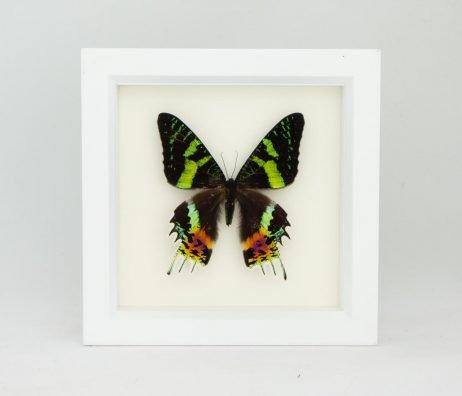 framed Urania ripheus