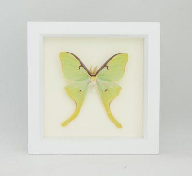 Framed Luna Moth (Actias luna)
