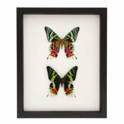 real framed african moth