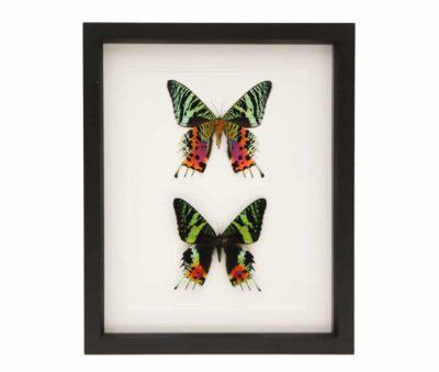 real framed african moth