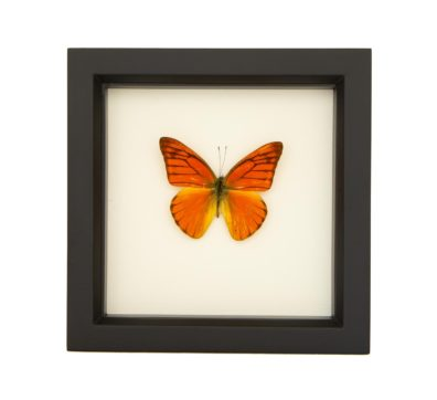 Framed Orange Albatross Butterfly (Appias nero)
