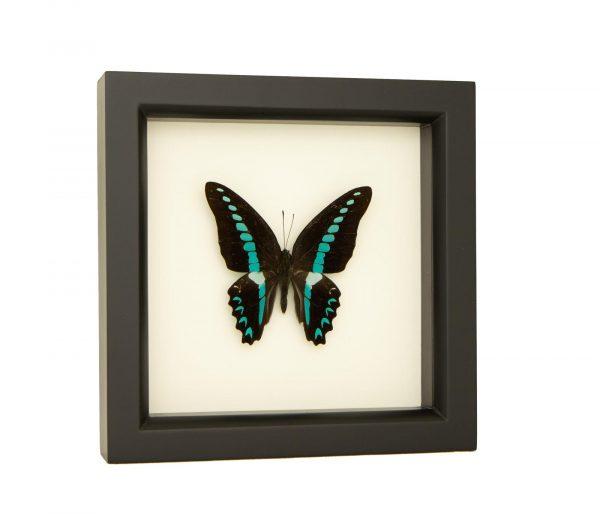 framed Australian butterfly