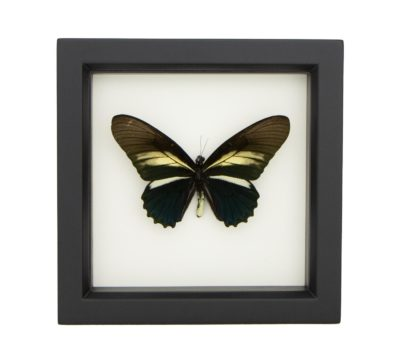 Framed Batwing Butterfly