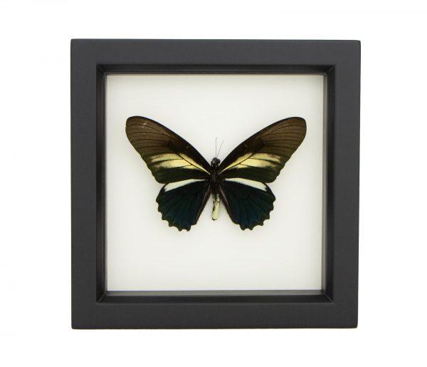 framed battus crassus