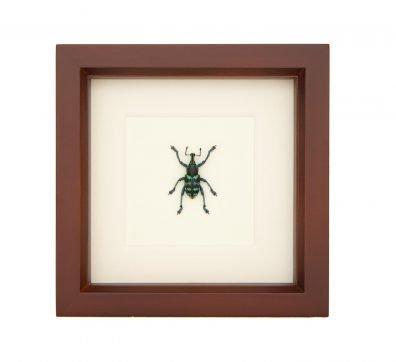 Framed Painted Weevil (Eupholus species)
