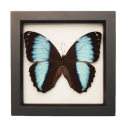 framed blue banded morpho