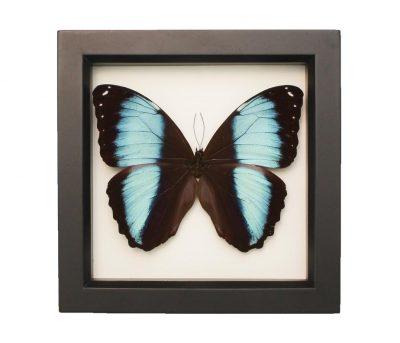 framed blue banded morpho