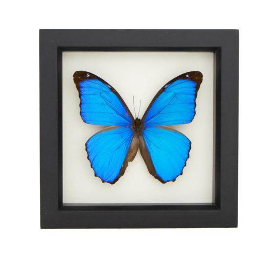 Framed Blue Morpho menelaus