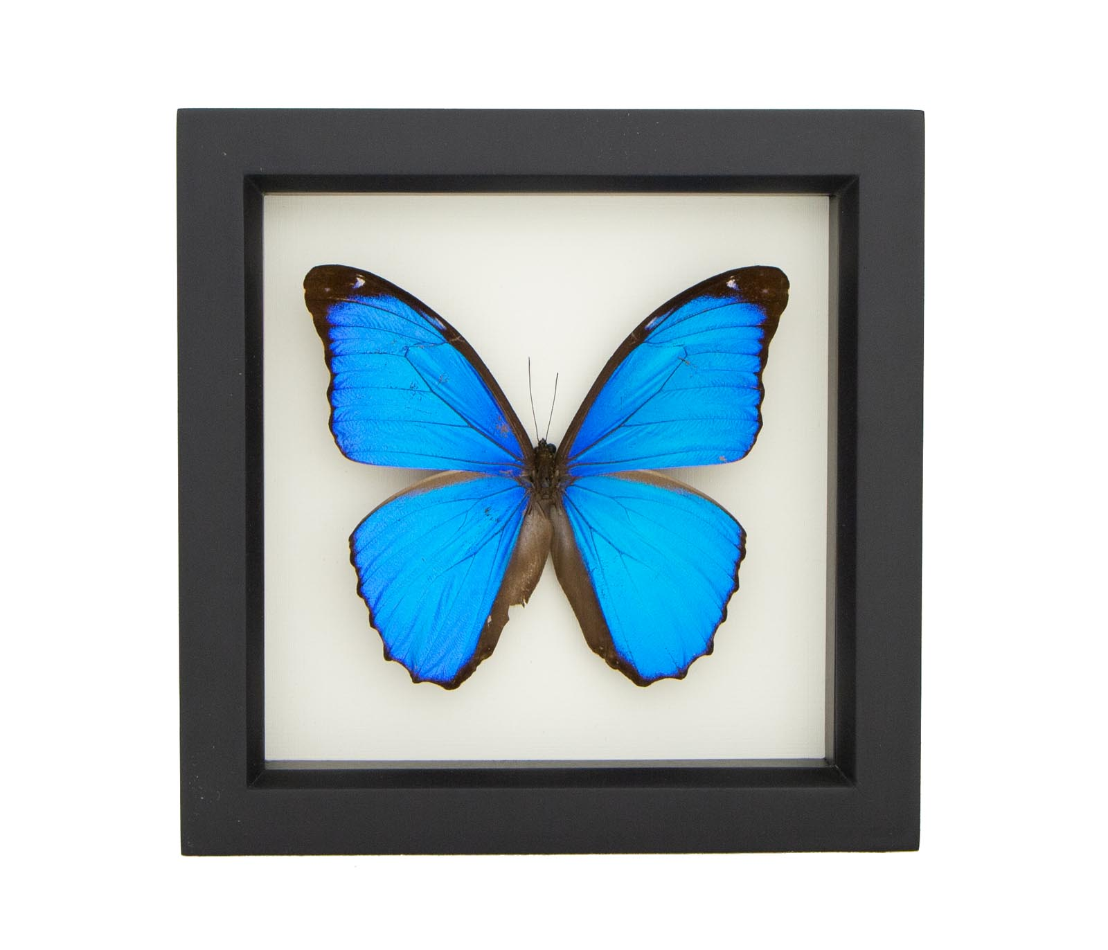 Real Framed Blue Morpho Butterfly Display Shadow Box