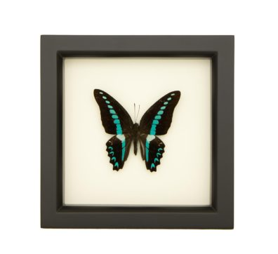 framed blue triangle butterfly